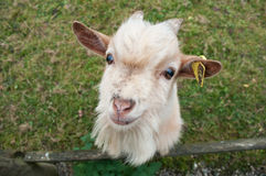 Retrato engraçado da cabra Fotografia de Stock