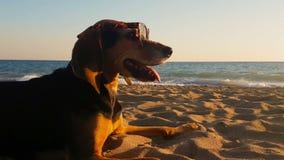 Retrato engraçado de um cão da caça nos óculos de sol vestindo da praia video estoque