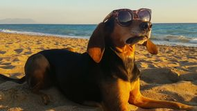 Retrato engraçado de um cão que tem óculos de sol vestindo de um olhar parvo contra o mar vídeos de arquivo