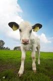 Retrato engraçado de uma vaca do bebê fotos de stock royalty free