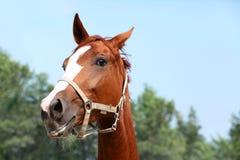Retrato engraçado do cavalo do gengibre Foto de Stock