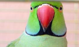 Retrato engraçado do papagaio Fotos de Stock Royalty Free
