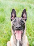 Retrato engraçado do pastor belga, malinois, cão, com seu mout Fotos de Stock Royalty Free