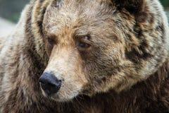 Retrato euro-asiático do lado do urso marrom Fotografia de Stock