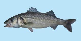 Retrato europeo de la pesca de la lubina Imagen de archivo libre de regalías