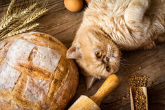 Retrato exótico del gato del jengibre Foto de archivo