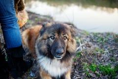 Retrato exterior al aire libre caucásico del perro de pastor Imagen de archivo