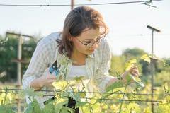 Retrato exterior da mola da mulher madura que trabalha no vinhedo, fêmea com os arbustos da uva dos formulários da tesoura de pod imagem de stock royalty free