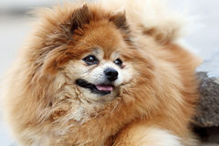 Retrato exterior de Pomeranian Fotos de Stock Royalty Free