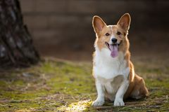Retrato exterior do Corgi no por do sol fotos de stock royalty free