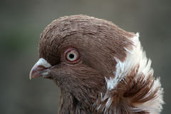 Retrato extravagante do pombo Imagens de Stock Royalty Free