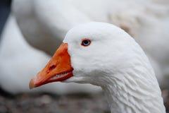 Retrato Eyed azul do ganso Imagem de Stock Royalty Free
