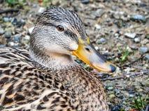 Retrato fêmea bonito do pato selvagem fotografia de stock royalty free