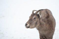 Retrato fêmea da excursão de Daguestão de um animal hoofed foto de stock