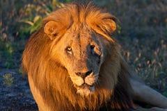 Retrato facial de un león masculino viejo en África Imagenes de archivo