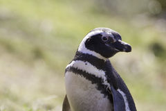 Retrato Falkland Islands del pingüino de Magellanic Foto de archivo