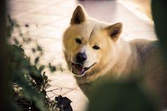 Retrato feliz de Akita Imagenes de archivo