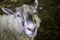 Retrato feliz de las ovejas Imagenes de archivo