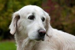 Retrato femenino blanco del perro del golden retriever fotografía de archivo