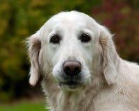Retrato femenino blanco del perro del golden retriever foto de archivo libre de regalías