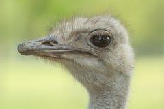 Retrato femenino de la avestruz Fotos de archivo libres de regalías