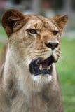 Retrato femenino del león Imagenes de archivo