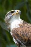 Retrato ferruginoso del halcón Fotografía de archivo