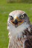 Retrato ferruginoso del halcón Fotografía de archivo libre de regalías