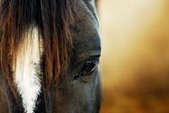 Retrato firmemente cosechado del caballo Imagen de archivo libre de regalías