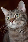 Retrato formal do gato Fotografia de Stock Royalty Free