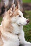 Retrato fornido del perro fotos de archivo