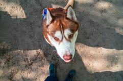 Retrato fornido del perro lindo, visión superior Jefe del husky siberiano rojo, retrato en fondo de la naturaleza Perro que mira  Fotos de archivo