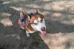 Retrato fornido del perro, visión superior Jefe del husky siberiano, retrato en fondo de la naturaleza Cierre para arriba Perro q Fotos de archivo