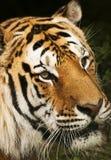 Retrato fotográfico de una cara llena pero de parecer del tigre triste imagenes de archivo