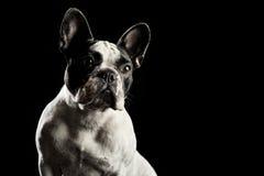 Retrato francês branco do estúdio do buldog Imagens de Stock Royalty Free