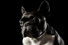 Retrato francês preto do estúdio do buldog Imagens de Stock Royalty Free