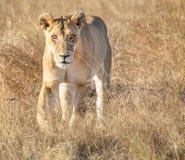Retrato frontal del león femenino que camina hacia y que mira fijamente el espectador en paisaje alto de la hierba foto de archivo libre de regalías