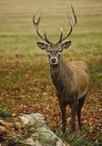 Retrato frontal del macho adulto de los ciervos rojos Fotografía de archivo