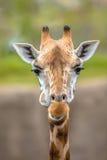 Retrato frontal do girafa do sul fotografia de stock