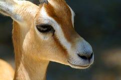 Retrato a gazela dos dorcas Imagens de Stock Royalty Free