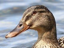 Retrato germánico del ganso Imagen de archivo libre de regalías