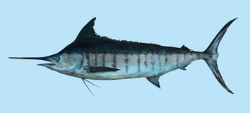 Retrato grande de la pesca de la aguja azul Imagen de archivo
