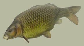 Retrato grande de la pesca de la carpa Foto de archivo libre de regalías