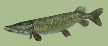 Retrato grande de la pesca del lucio Imagen de archivo