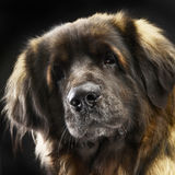 Retrato grande de Leonberger do cão no estúdio escuro Foto de Stock Royalty Free