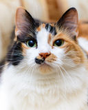 Retrato grande de un gato blanco y rojo hermoso Fotos de archivo