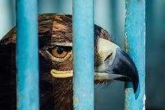 Retrato grande de un halcón que se sienta en una jaula Imagen de archivo