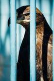 Retrato grande de un halcón que se sienta en una jaula Fotografía de archivo