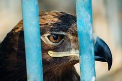 Retrato grande de un halcón que se sienta en una jaula Imagenes de archivo