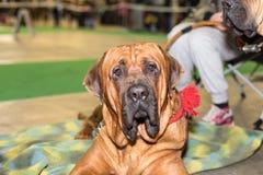 Retrato grande del perro de Fila Brasileiro Imagen de archivo